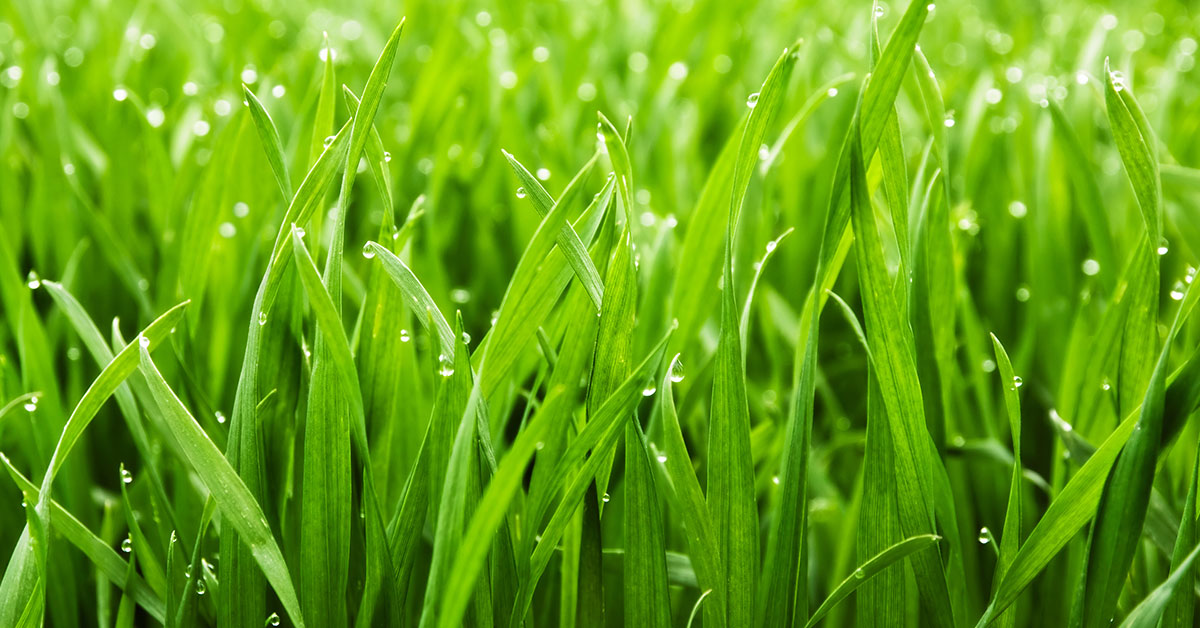drought tolerant grass variety